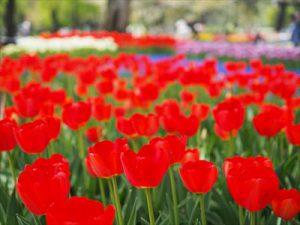 まるで絵画!昭和記念公園のチューリップがまさに見頃!新緑とチューリップのコラボに圧倒されます!