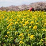 昭和記念公園の「さくら」と「菜の花畑」今週末がピークですよ!