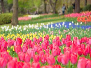 昭和記念公園フラワーフェスティバル2015!チューリップ畑の様子をお届けします。