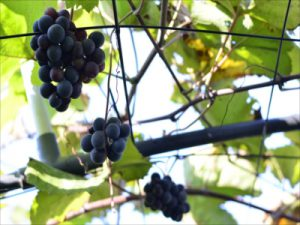 立川の農園・農家で収穫の秋を体験してみませんか?