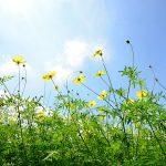 立川の秋を彩る♪昭和記念公園で「コスモスまつり」開催中