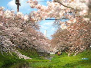 2017年4月6日、根川緑道。満開です。