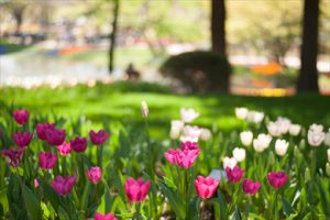 立川の春2019|チューリップの絨毯が奥へ奥へと広がる昭和記念公園のチューリップガーデンはおとぎの国のよう♪