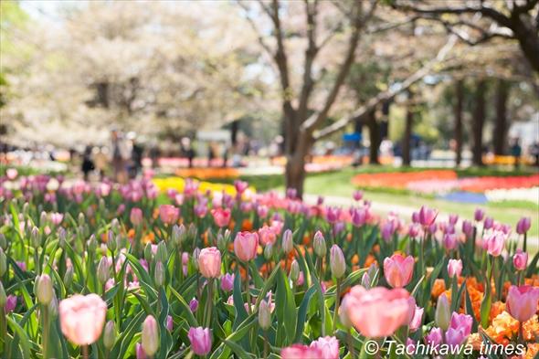 tulip201920190416-DSC_0211