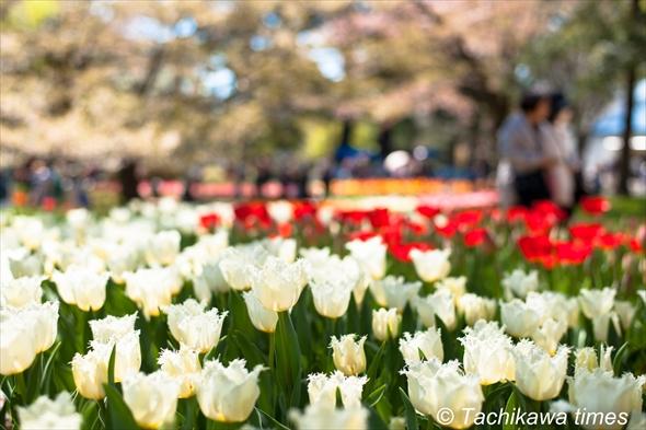 tulip201920190416-DSC_0213