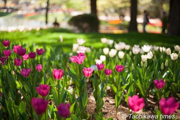 tulip201920190416-DSC_0267