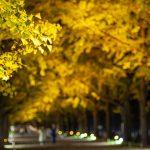 立川カメラ/昭和記念公園の黄葉紅葉まつりを夜散歩。イチョウ並木のライトアップが素敵!